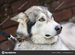 a beautiful husky wolf dog with yellow eyes and beautiful fur coat on a lead photo by danny dannyallison co uk