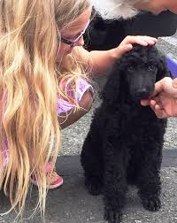 they loved their black standard poodle from us so much that they got another poodle for him he s obsessed with the puppy they play so well together