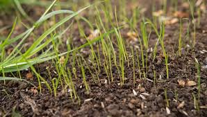 Grass Seed Germination Chart What Temperature Does Grass Seed Need To Germinate Yard