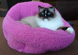 Small Picture Ragdoll Cats EVERYTHING You Need To Know About Ragdoll Cats