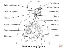 the respiratory system blank printable the respiratory system detailed blank diagram of upper respiratory system car fuse box and wiring on the human respiratory system worksheet