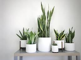 our favorite varieties of snake plants