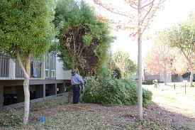 arborist mountain view tree maintenance removal marvyu0027s landscaping mountain view tree service a49