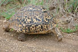 Leopard Tortoise Wikipedia