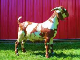 Nubian Goat Color Chart Max Boer Goats The Art Of Breeding Spots And Dapples