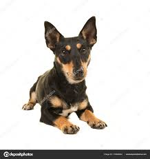jack russell terrier mix black.  Mix Jack Russel Terrier Liegend Vor Der Kamera O Black Und Tan U2014 Stockfoto Intended Russell Mix