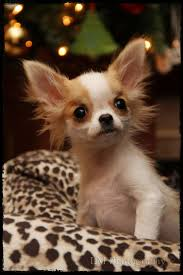 8593 Best Chihuahuas Images On Pinterest Dogs Chihuahuas And