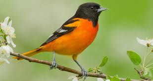 Black bird with orange breast
