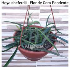 You will receive a small living plant (not flowery): Loja Aimirim Plantas E Jardim Flor De Cera Pendente Hoya Sheferdii