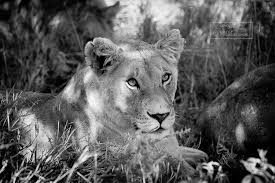 lioness black and white.  Lioness Lioness In Shade Black And White With And A