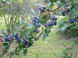 mississippi medallion plants mississippi state university rabbiteye blueberries