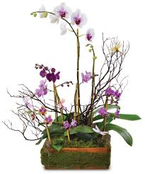 blooming orchid plants from the rose bud flowers gifts