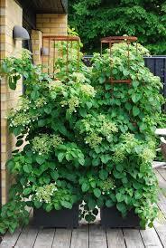 Best 25 Climber Plants Ideas On Pinterest  Flower Vines Flowers Wall Climbing Plants Nz