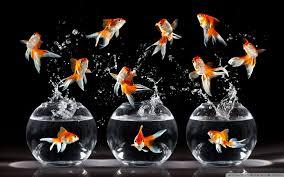 goldfish wallpaper desktop. Plain Goldfish Wide  Inside Goldfish Wallpaper Desktop
