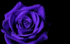 flowers purple rose inspi macro flower wallpaper hd 1080p flowers for hd 16 9