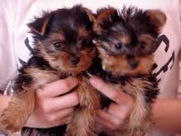 emporia ks i curly have both male and female yorkie