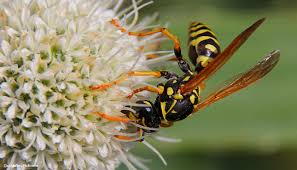 Guide to Identifying <b>Wasps</b> and Other Stinging Insects   The Student ...