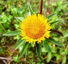 Pallenis spinosa (L.) Cass. {ID 5640} - Asterisco spinoso - Forum ...