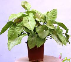 syngonium plant grows well in indoors it s a climbing vine creeper it is one of the easy growing house plants regular pruning will help the plant to grow