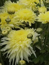 chrysanthemum ruby breithaupt
