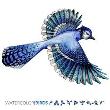 blue bird flying clipart. Exellent Clipart Vector Watercolor Illustration Of The Blue Jay Tropical Bird Flying Vector  Art To Bird Flying Clipart G
