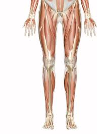  share with the rest of the class, so that you have a class list of all the muscles that you know. Muscles Of The Leg And Foot