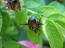 japanese beetles life cycle dont let japanese beetles devour your landscape
