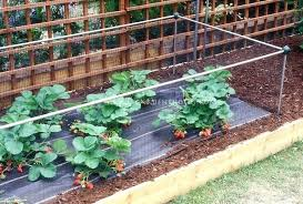 how to protect garden from animals keeping critters away from garden strawberry plants with protective structure