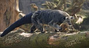 Small Picture Binturong Animal of the Day Pinterest Cat Animal and Wildlife