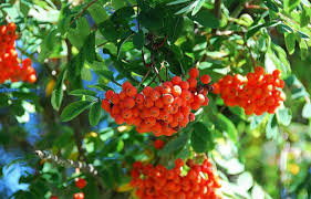 New Hampshires Native Trees Shrubs And Vines With