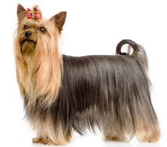 silky dog. as mentioned above, mcarthur little in sydney was a very important breeder the history of australian silky terriers. his dogs were known dog