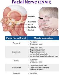 Facial Nerve And Innervation Neuro Heent Facial Nerve