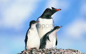 birds family of penguins penguins