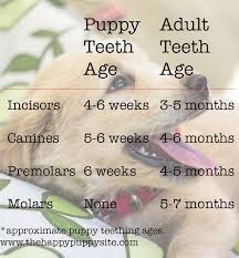 Puppy Teething Age Chart Puppy Teeth And Teething What To Expect Puppy Teething
