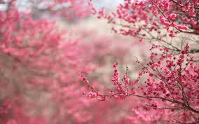 Cherry Blossom Computer Wallpapers Desktop Backgrounds In