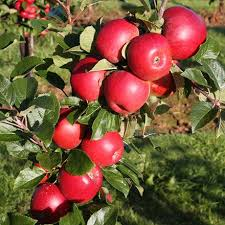 Botany Cherry Prunus Avium Cherries Tree With Leaf Growing Red Leaf Fruit Tree