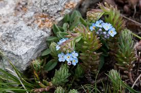 Myosotis ambigens (Bég.) Grau - Segnalazione fiori e piante ...