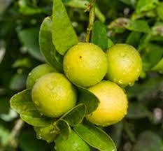 Iran  Nina TravelsIranian Fruit Trees