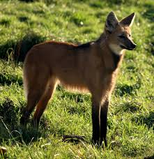 symbiotic relationships mutualistic symbiotic relationships of the maned wolf btweenblinks