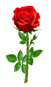 rose pictures images stock photos