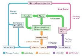 Nitrogen Cycle Bioninja