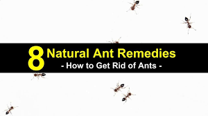 8 natural ant remes how to get rid of ants