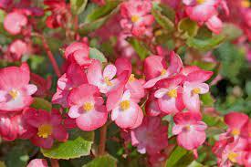 ベゴニア 花 言葉