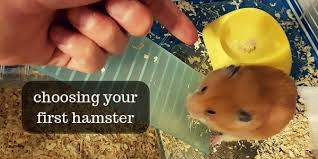 do hamsters eat or need hay extra