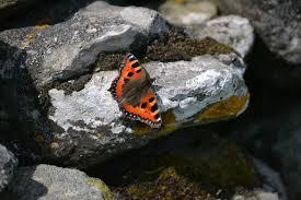 Risultati immagini per farfalla  pietra