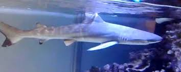 baby hammerhead sharks for sale. Brilliant Sharks Black Tip Shark For Sale And Baby Hammerhead Sharks For Sale M