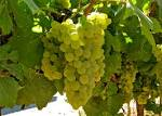 Images & Illustrations of chardonnay grape