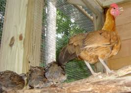 Quail Pen Chicken Coop Plans   North Carolina Garden Coop     Coop    Quail and bantam hen share the roost in Chapel Hill Garden Coop poultry house