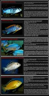 Small Picture 379 best African cichlids images on Pinterest African cichlids