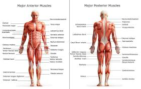 All Of The Major Muscle Groups On Both The Front And Back Of